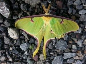 Luna Moth from above